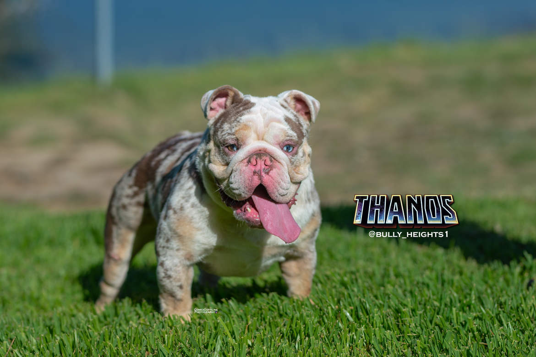 English Bulldog Studs